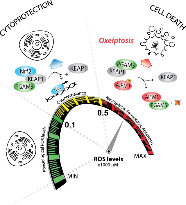 Oxeiptosis -- an alternative cell death mechanism