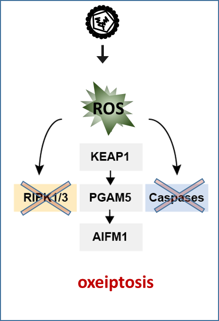 Oxeiptosis, a ROS-induced caspase-independent apoptosis-like cell-death pathway