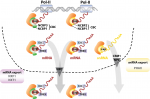 mRNA export through an additional cap-binding complex consisting of NCBP1 and NCBP3