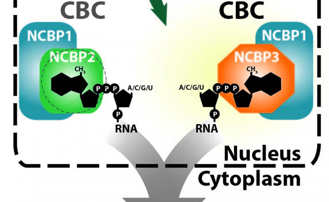 NCBP3 in vivo