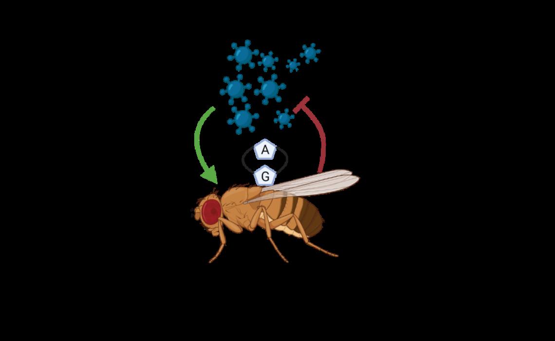 cGAMP in Flies
